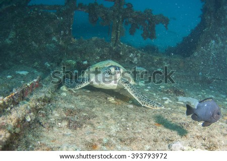 Sea Turtle stay on shipwreck