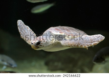 sea turtle swimming - stock photo