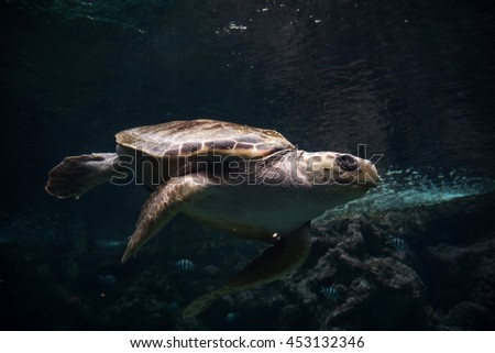 Sea turtle swimming / Aquatic turtle in aquarium Oceanopolis, Brest, Brittany, France