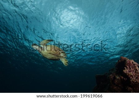 Sea turtle swimming away from the reef - stock photo