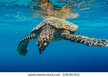 Sea Turtle swimming in Seychelles - stock photo