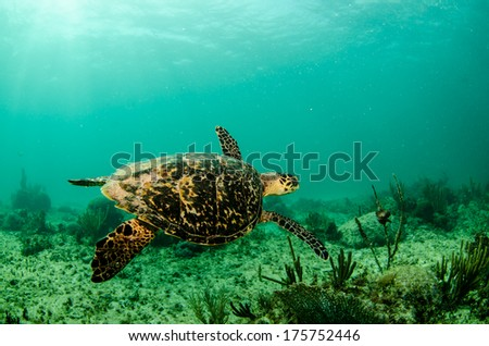 Sea turtle swimming in the coral reefs of the caribbean sea, Riviera Maya. Mexico - stock photo