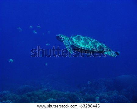 sea turtle swimming in the ocean - stock photo