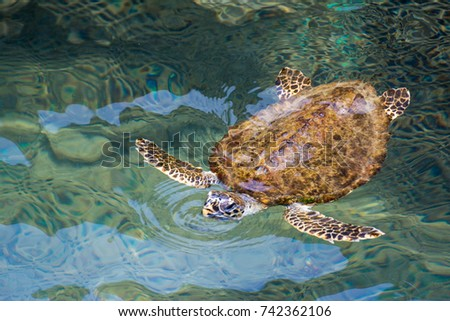 Sea turtle swimming on the surface of the sea