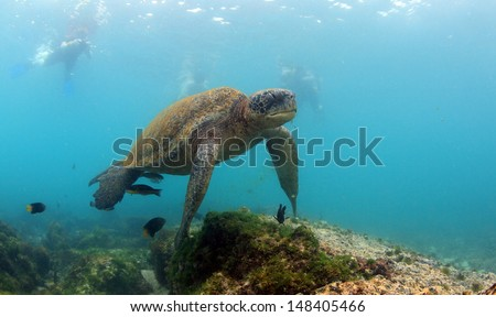 Sea turtle swimming underwater watched by snorkelers Galapagos Islands - stock photo
