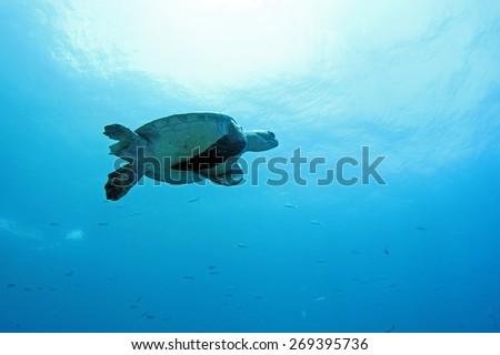 Sea Turtle Underwater in Mid Flight in Galapagos Islands Ecuador - stock photo