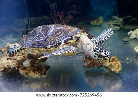 Sea turtle.  Unites a large sea and ocean turtles, having a streamlined oval carapace covered with horny shields.