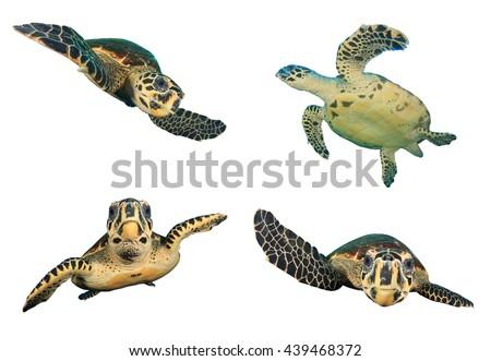 Sea Turtles isolated on white background (Hawksbill Turtle - Eretmochelys imbricata) - stock photo