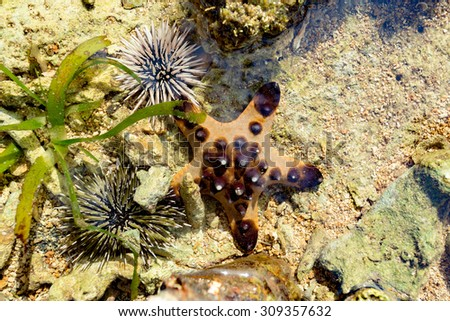 Sea Urchin and Starfish on the sea bed, Sulawesi, Indonesia - stock photo