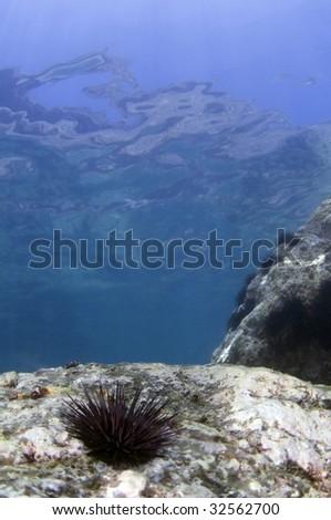 Sea urchin near the surface - stock photo