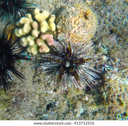 Sea urchin, oceanic landscape, coral reef animals, fresh corals at the bottom of the sea, sea danger, dangerous animal, needle animal, colorful corals, yellow corals, green corals, sea landscape - stock photo