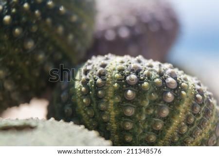 Sea urchin shells on rock  - stock photo