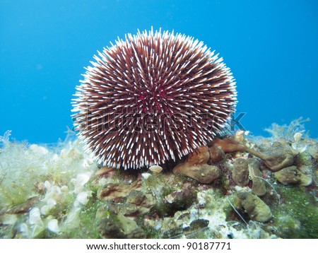 Sea urchin under water in Croatia
