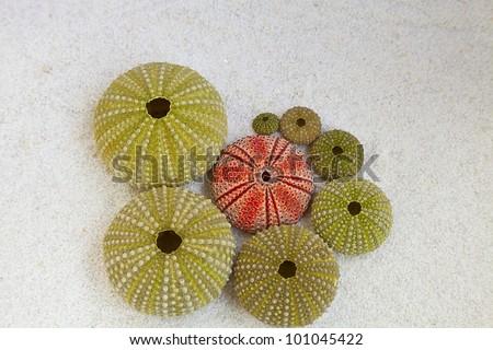 sea urchins - stock photo