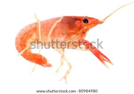 seafood animal crayfish shrimp isolated on white - stock photo