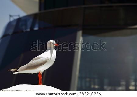 Seagul-Sydney bay - stock photo