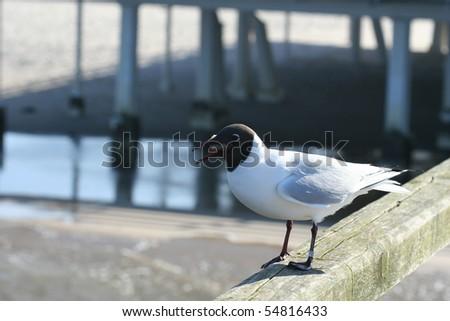 Seagull along the baltic coast - stock photo