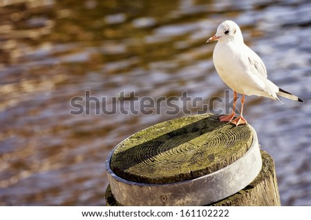 seagull at a harbor on a tree trunk - stock photo