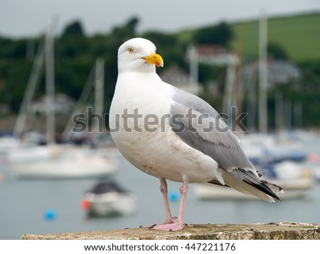Seagull bird in Falmouth, Cornwall England. - stock photo