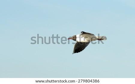 Seagull bird in flight - stock photo