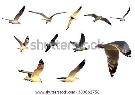 seagull birds set isolated on white - stock photo
