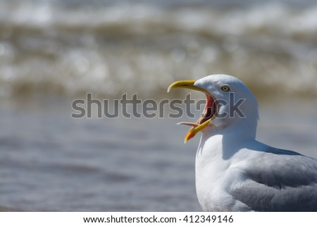 Seagull calling with tongue showing