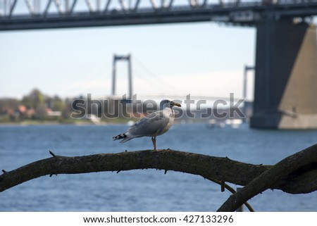 Seagull close to Little Belt and two bridges - Middelfart, Denmark. - stock photo
