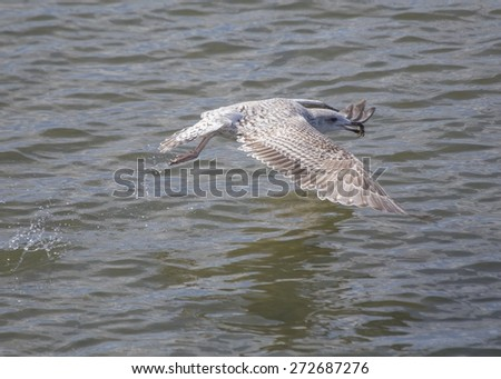 Seagull Eating Crab spotted off the coast of Dublin, Ireland - stock photo