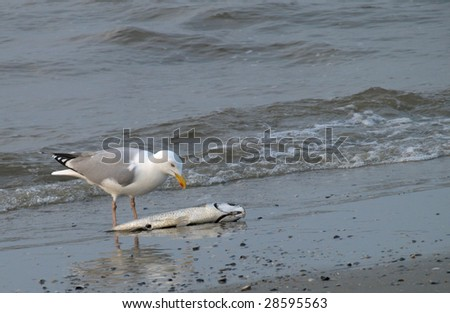 Seagull eating dead fish