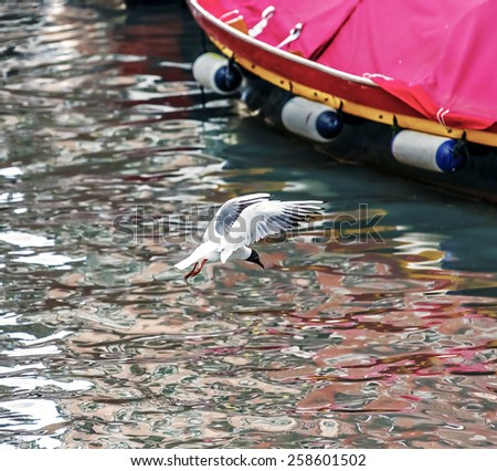 Seagull fishing in Venice canal - Italy - stock photo
