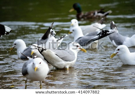 seagull flock in summer pond close up - stock photo