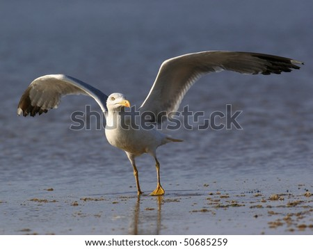 seagull, fly on