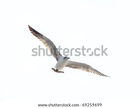seagull flying action on isolated white background - stock photo