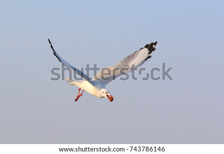 Seagull flying to get food at Bangpoo, Samutprakarn province, Thailand.