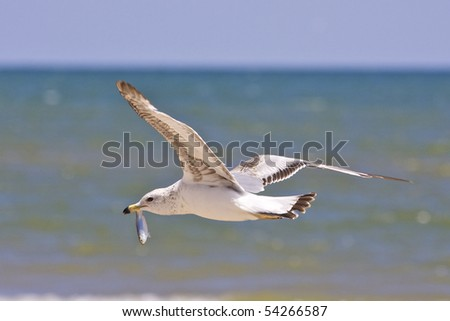Seagull flying with freshly caught alewife - stock photo