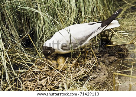 seagull hatches out eggs on a nest - stock photo