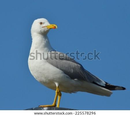 Seagull in Blue, Seagull, Gull, Bird, Blue - stock photo
