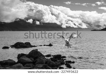 Seagull in flight over the water of Southeast Alaska with clouds in the distance in black and white. - stock photo