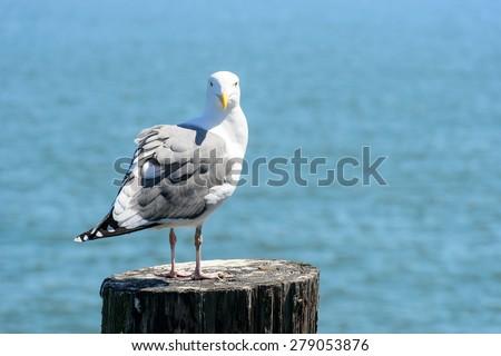 Seagull in San Francisco bay - stock photo