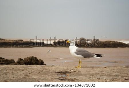 Seagull in the port of Essaouira - stock photo