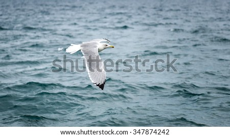 Seagull is flying and soaring in over the sea and waves in the storm