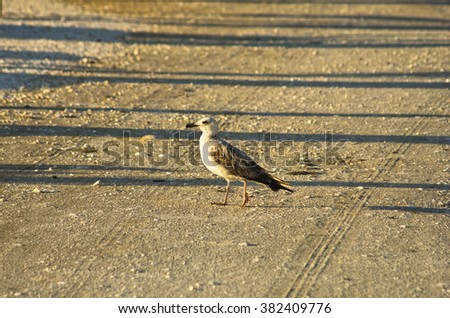 Seagull is walking on a gravel road at sunrise, Greece
