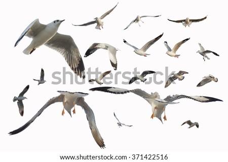 Seagull Isolated on White Background - stock photo