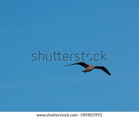 Seagull on flight near tyrrhenian coast, Italy