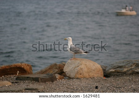 Seagull on Rock - stock photo