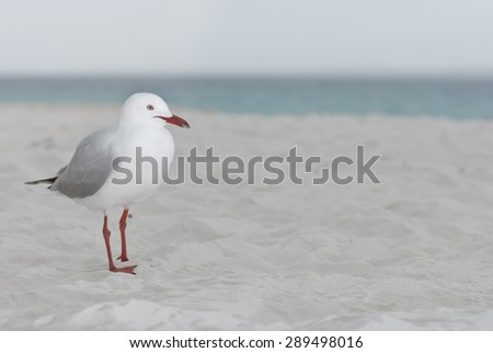 Seagull on the beach - waiting for a morsel - stock photo