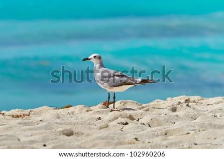 Seagull on the Caribbean beach of Mexico - stock photo