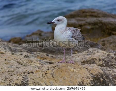 Seagull on the Crimean coast - stock photo