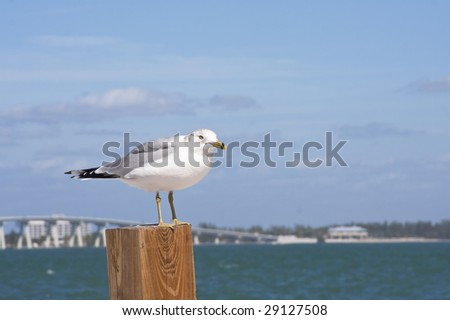 Seagull perches on a post with the causeway to Sanibel Island, Florida, in the background. - stock photo