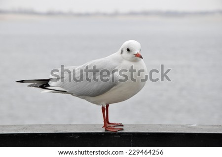 Seagull sitting on a metal fence over the river - stock photo